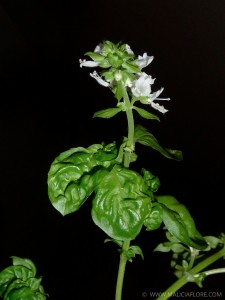 Basilic confit a l huile d olive 3
